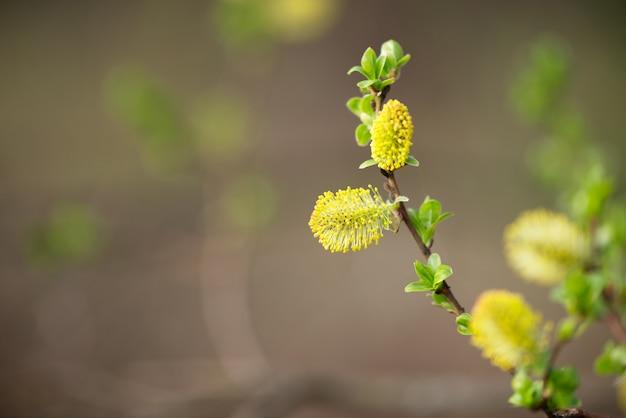 春の小さな緑の葉と柳の木のふわふわの黄色い芽 Premium写真