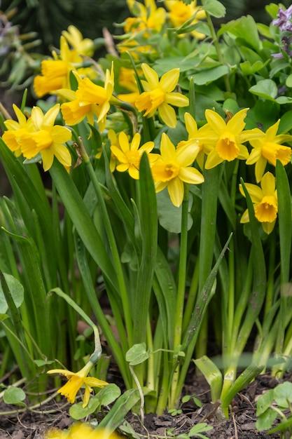 Нарцисс цветы цветут в саду весной Premium Фотографии