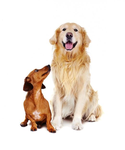 Такса собака смотрит на золотистый ретривер Premium Фотографии