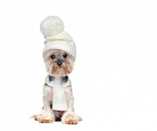 白い帽子とスカーフを身に着けている座っている犬の完全な長さの写真 Premium写真
