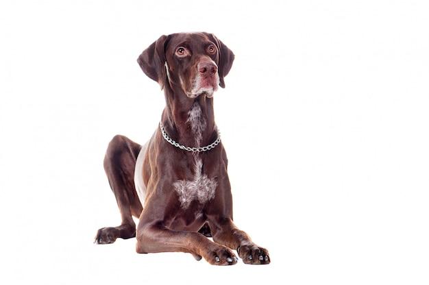 Указатель собака лежит на полу, изолированных на белом Premium Фотографии