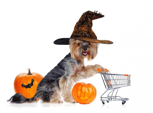 Щенок йоркширского терьера в шляпе ведьмы Premium Фотографии