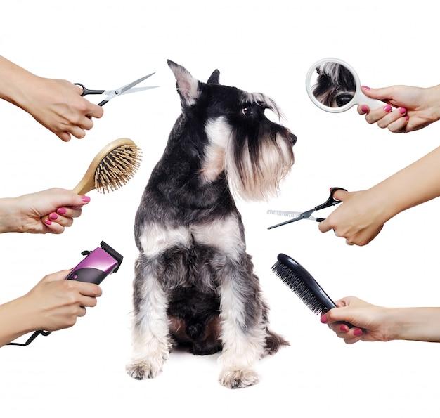 シュナウザー子犬と白で隔離される別のグルーマーツールと手 Premium写真