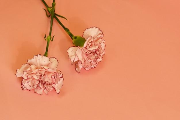 Цветущая гвоздика на пастельном фоне. Premium Фотографии