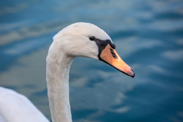 Портрет белого лебедя в открытом море Premium Фотографии