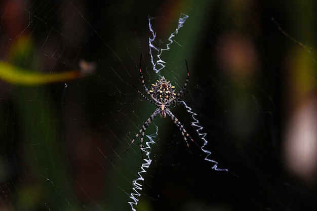 クモの巣でタイガークモ Premium写真