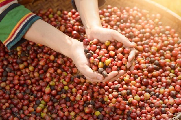 Женщина-неопознанный фермер собирает кофейные ягоды на кофейной ферме, кофейные ягоды арабики руками агронома, винтажный стиль, таиланд Premium Фотографии