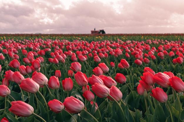 大規模な農業分野で咲く赤いチューリップの美しいショット 無料写真