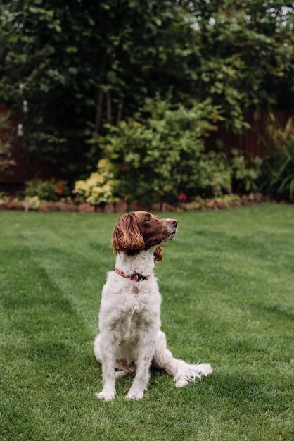 Вертикальный выстрел из бело-коричневой собаки с красным поводком на зеленой траве, глядя в сторону Бесплатные Фотографии
