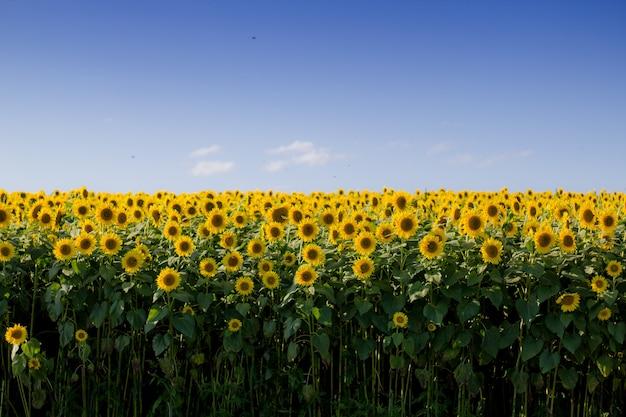 澄んだ青い空と美しいひまわり畑 無料写真