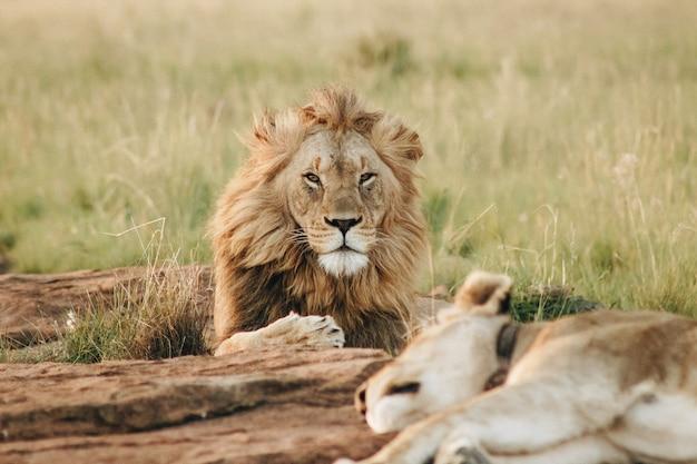 Мужской лев, глядя на камеру, лежащих на земле в поле Бесплатные Фотографии