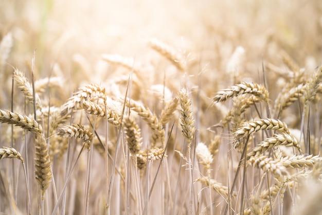 Крупным планом селективный фокус выстрел из красивых пшеничном поле в солнечный день Бесплатные Фотографии