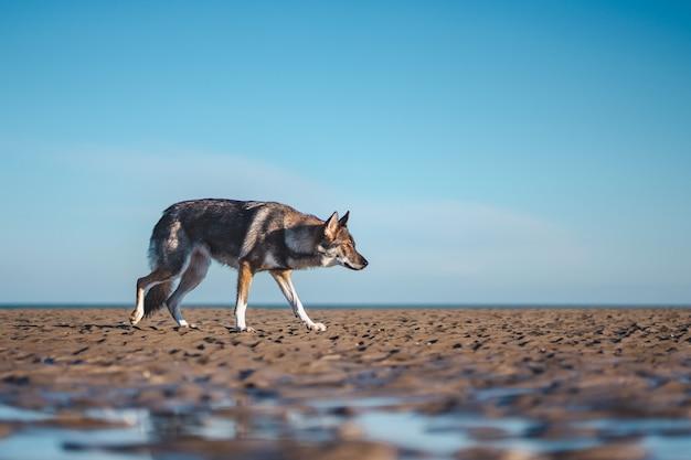茶色の地面の上を歩く濃縮された茶色と白のウルフドッグの広い選択的なショット 無料写真