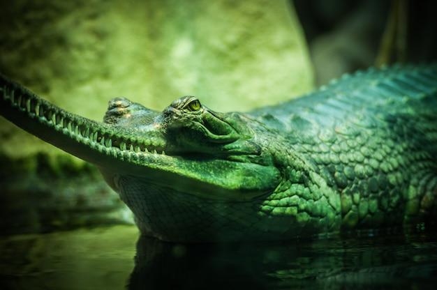 水の体に緑のワニのクローズアップセレクティブフォーカスショット 無料写真