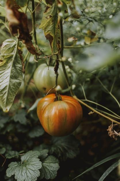 Вертикальный выстрел из тыквы в саду Бесплатные Фотографии