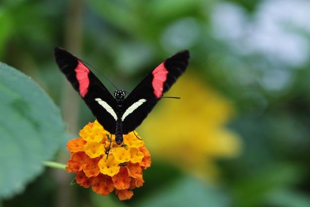 黄色い花で休んで、黒い翼、赤と白のストライプの蝶のクローズアップショット 無料写真