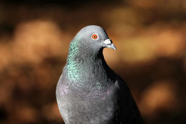 Крупный план серого голубя Бесплатные Фотографии