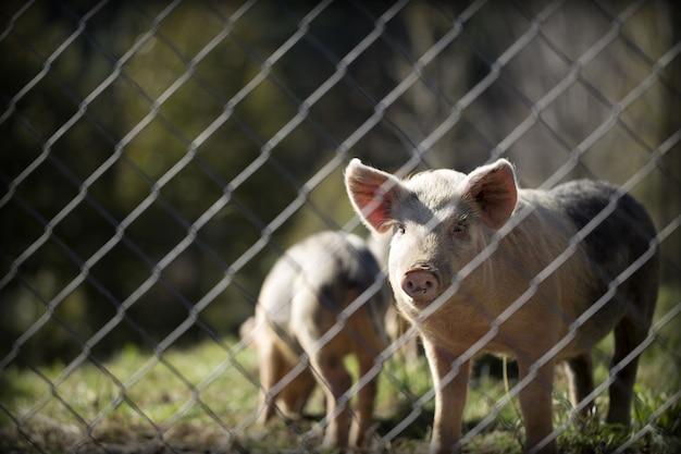 晴れた日にフェンスの後ろに牧草地で豚の水平のクローズアップショット 無料写真