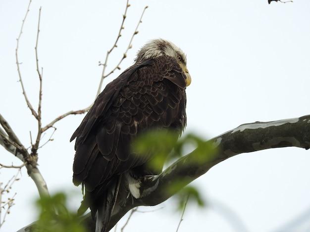 白と木の枝に立っている怒っている鷹のローアングルショット 無料写真