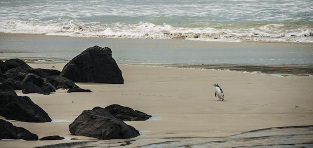Широкий выстрел пингвина возле черных скал на песчаном побережье у моря Бесплатные Фотографии