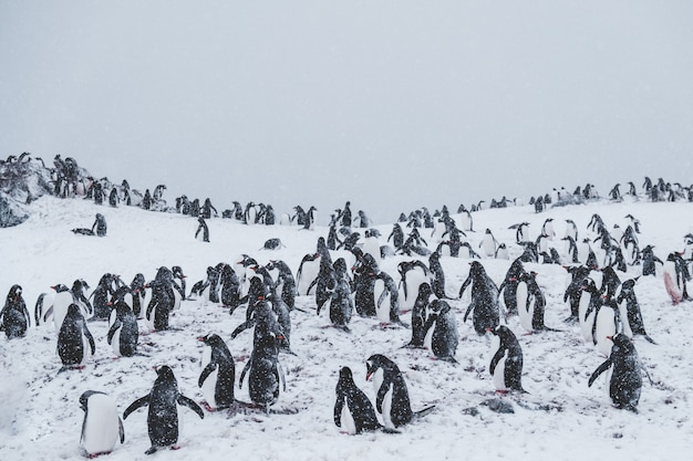 Много пингвинов на снежной вершине среди метели Бесплатные Фотографии