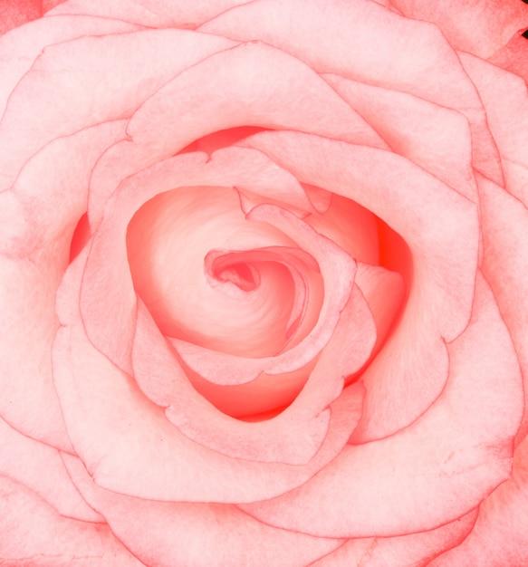 ピンクのバラの美しいクローズアップショット 無料写真