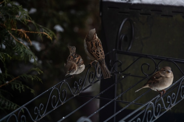 Красивые воробьи сидят на металлических перилах среди заснеженных деревьев Бесплатные Фотографии