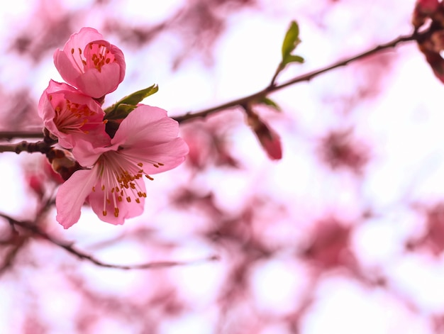Красивый вишневый цвет Бесплатные Фотографии