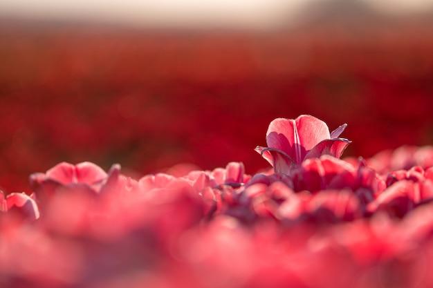 チューリップ畑-目立つの概念で美しい赤いチューリップのクローズアップショット 無料写真