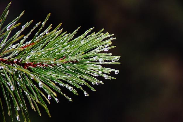 緑の松の木の枝に朝露のクローズアップ 無料写真
