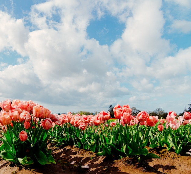 明るくカラフルなチューリップのフィールドの美しいフィールドのクローズアップ 無料写真