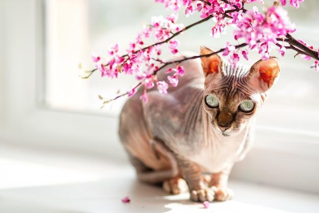 美しい血統のスフィンクス猫がピンクの花の窓に座っています。 Premium写真