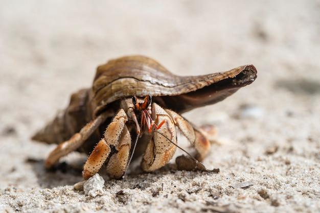 ザンジバル、タンザニア、アフリカの島の砂浜のビーチでヤドカリ。がん仙人のクローズアップ Premium写真