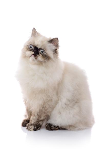 よそ見若いヒマラヤ猫 Premium写真