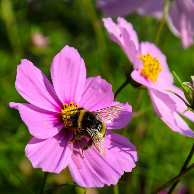 Трудолюбивый шмель работает на цветке - собирает пыльцу Premium Фотографии