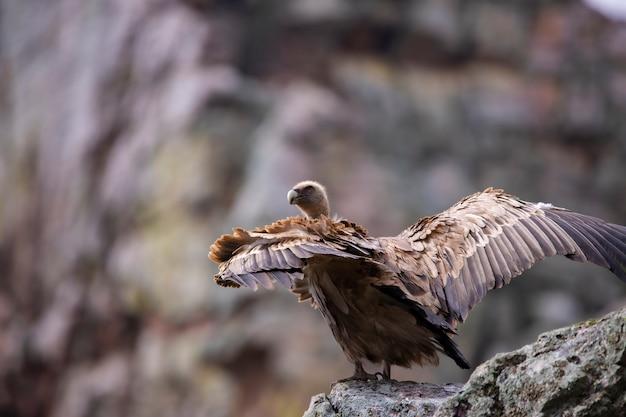 山側の野生のグリフォンのハゲタカ Premium写真