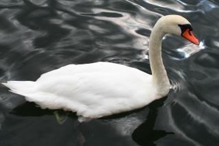 Стокгольмский лебедь Бесплатные Фотографии