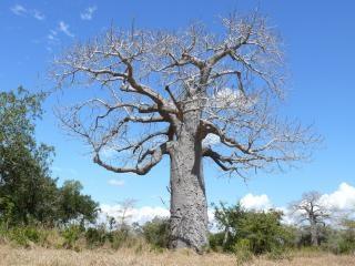 バオバブの木、森 無料写真