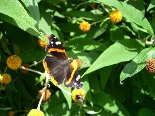 アカタテハ蝶 無料写真