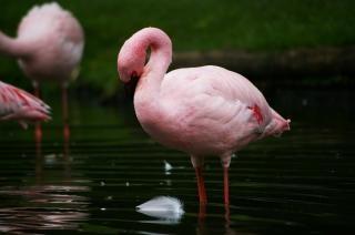 ピンクのフラメンゴ 無料写真