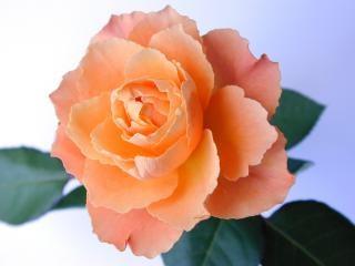 種差のバラ 無料写真
