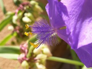 Пушистый голубой цветок, цветение Бесплатные Фотографии