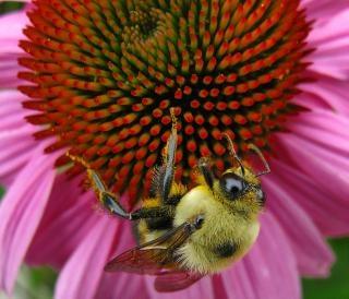 Эхинацеи пчелы, розовый Бесплатные Фотографии
