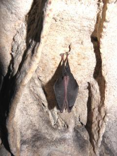 壁にコウモリの睡眠 無料写真