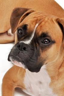 Боксер собака Бесплатные Фотографии