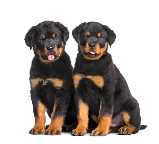 Два щенка ротвейлера сидят на белом фоне Premium Фотографии