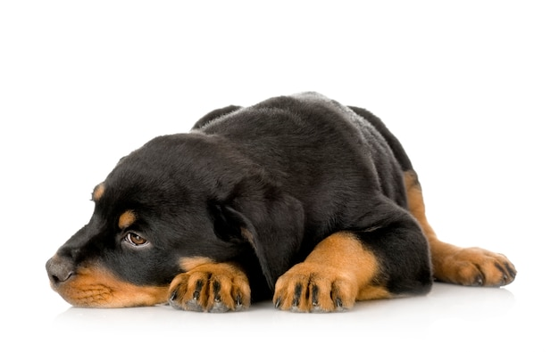 Изолированный портрет щенка ротвейлера Premium Фотографии