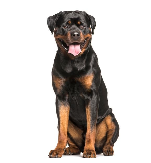 Ротвейлер собака сидит и тяжело дыша, вырезать Premium Фотографии