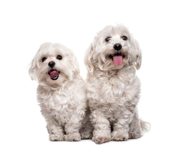Мальтийские собаки сидят Premium Фотографии