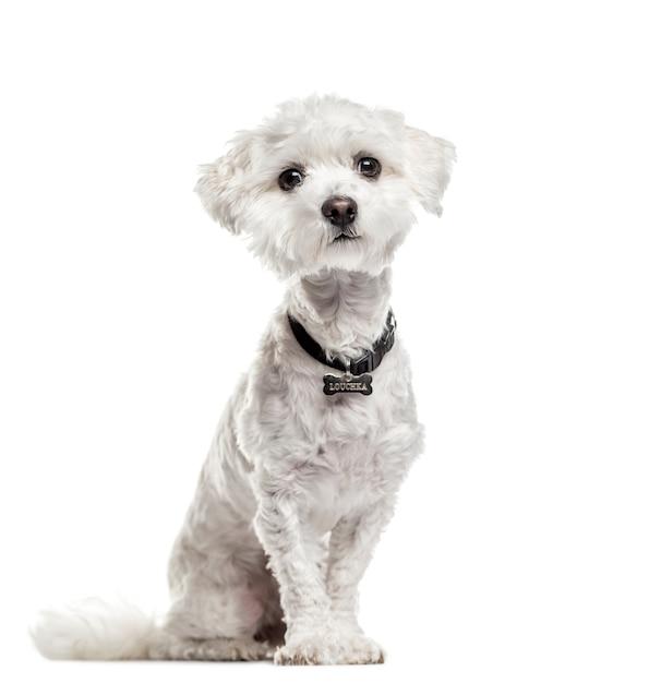Мальтийская собака сидит Premium Фотографии